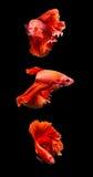 Сиамские воюя рыбы на черноте Стоковое Изображение RF