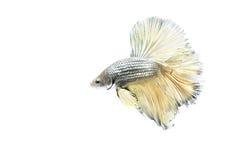 Сиамские воюя рыбы показывают ребро на белой предпосылке Стоковые Фото