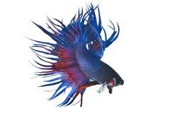 Сиамские воюя рыбы Стоковое фото RF