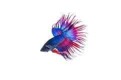 Сиамские воюя рыбы Стоковое Фото