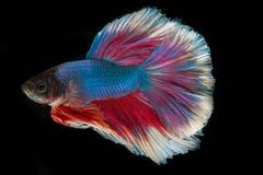 Сиамские воюя рыбы; Splendens Betta Стоковые Изображения