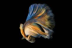 Сиамские воюя рыбы; Splendens Betta Стоковая Фотография