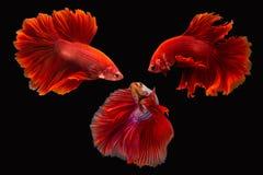 Сиамские воюя splendens рыб или betta Стоковое Изображение