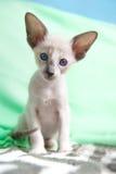 Сиамский котенок младенца Стоковое Изображение