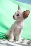 Сиамский котенок младенца Стоковые Изображения RF