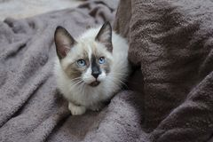 Сиамский котенок смешивания заискивает на коричневых полотенцах Стоковое Изображение