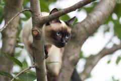 Сиамский кот взбираясь на дереве стоковые фото