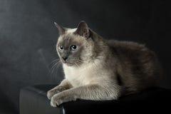 Сиамский кот Стоковая Фотография