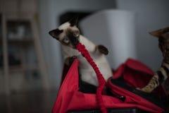 Сиамский с красными сумкой и поводком Стоковая Фотография RF