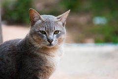 СИАМСКИЙ CAT Стоковые Фотографии RF