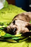 Сиамский tomcat на кровати стоковые изображения rf