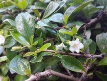 Сиамское грубое дерево Буша или зубной щетки Стоковые Фото