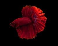 сиамское рыб бой красное стоковая фотография rf