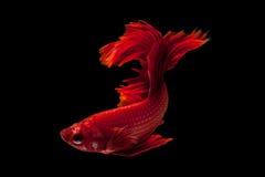 сиамское рыб бой красное стоковое изображение