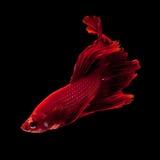 сиамское рыб бой красное стоковые изображения