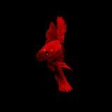 сиамское рыб бой красное стоковые фотографии rf