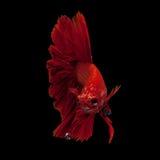 сиамское рыб бой красное стоковые изображения rf
