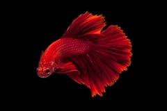 сиамское рыб бой красное стоковое изображение rf