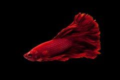 сиамское рыб бой красное стоковые фото