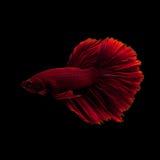 сиамское рыб бой красное стоковое фото rf