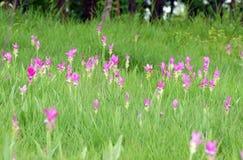 Сиам-тюльпан Стоковое Изображение