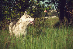 Сибирская лайка на поле Стоковые Фото