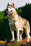 Сибирская лайка на поле Стоковое Изображение RF