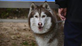 Сибирская лайка (эскимосская собака) Стоковая Фотография