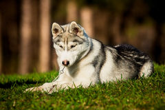 Сибирская лайка Стоковые Фото
