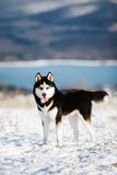 Сибирская лайка 2 Стоковое Фото