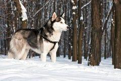 Сибирская лайка II Стоковая Фотография