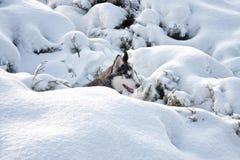 Сибирская лайка v Стоковая Фотография