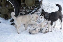 Сибирская лайка VIII Стоковые Фото