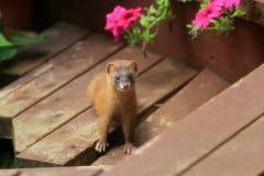 Сибирская ласка стоковая фотография rf