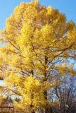 Сибирская лиственница Стоковые Изображения