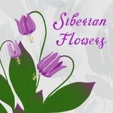 Сибирская иллюстрация вектора лилии пыжика Стоковые Изображения