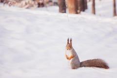 Сибирская красная белка в древесинах зимы в поисках еды Стоковые Фото