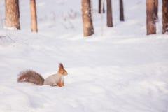 Сибирская красная белка в древесинах зимы в поисках еды Стоковое Фото