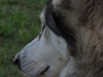 Сибирская лайка стоковое фото rf
