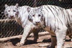 Сибирские белые тигры Стоковые Фото