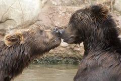 Сибирские бурые медведи Стоковые Изображения