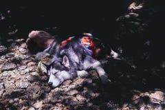 Сибирские лайки спят в тени дерева на скалистом береге Осиплая собака спит в горячем после полудня в тропическом лесе Стоковое Изображение