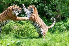 Сибирские тигры воюя один другого в глуши на зеленом backg стоковые изображения rf