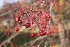 Сибирские appels на ветви Стоковая Фотография