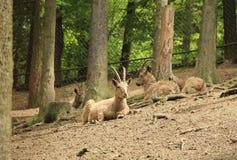 Сибирские ibexes Стоковые Фотографии RF