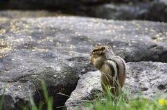 Сибирский бурундук есть арахис стоковое изображение rf