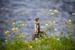 Сибирский бурундук водой Стоковое Изображение