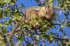 Сибирский бурундук в дереве Стоковые Изображения