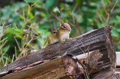 Сибирский бурундук леса Стоковые Изображения RF
