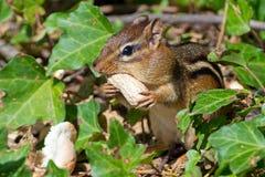 Сибирский бурундук есть арахис стоковое изображение